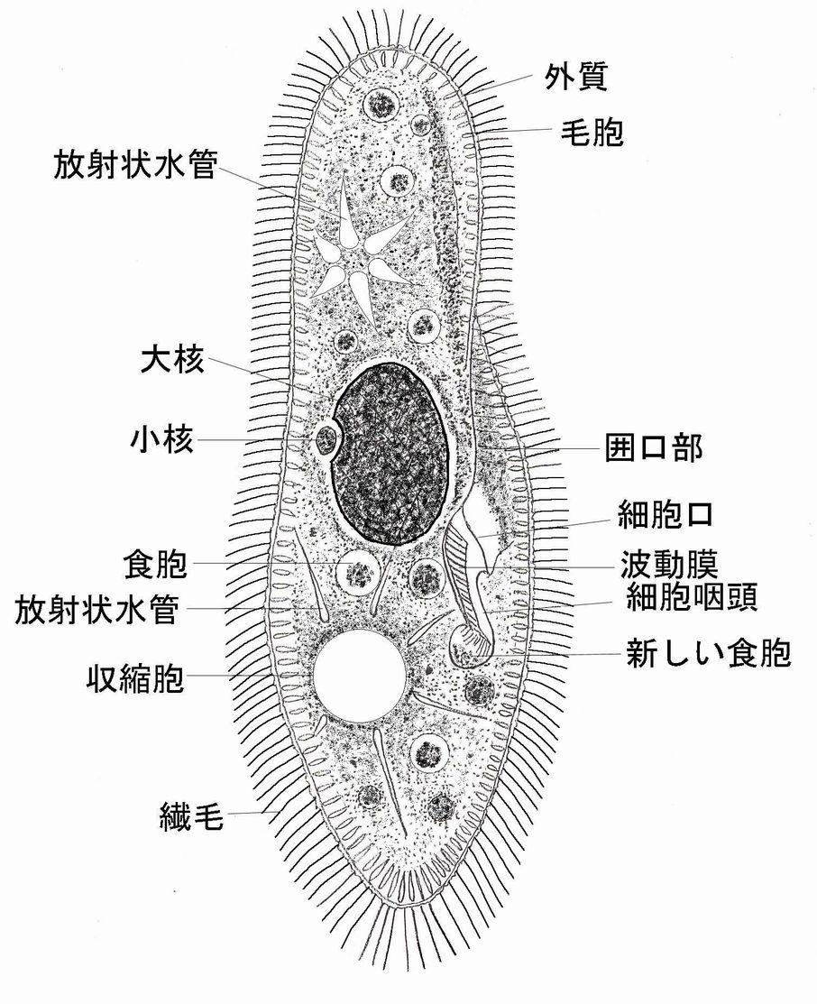 ゾウリムシ(Paramecium)